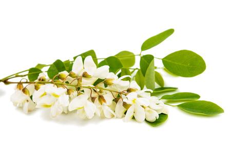 Acacia on a white background Standard-Bild