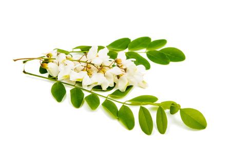 Acacia on a white background photo