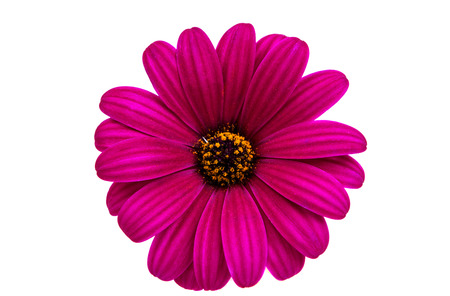 closeup of pink daisy with: A violet Pink Osteosperumum Flower Daisy White Background. Macro Closeup Stock Photo