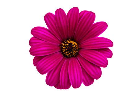 african daisy: A violet Pink Osteosperumum Flower Daisy White Background. Macro Closeup Stock Photo
