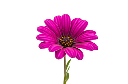 p�querette: Un fond violet rose Osteosperumum Fleur Daisy Blanc. Gros plan macro