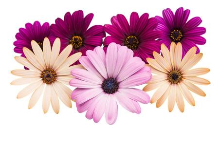 A violet Pink Osteosperumum Flower Daisy White Background. Macro Closeup photo