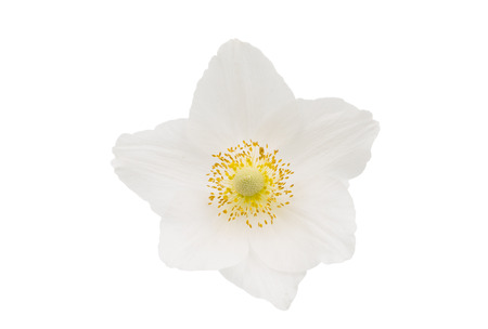 windflower: white flower anemone Dubravnaya isolated on white background