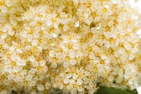 Rowan flowers on a white background