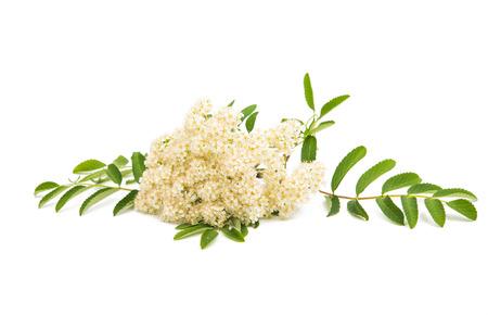 rowan: Rowan flowers on a white background