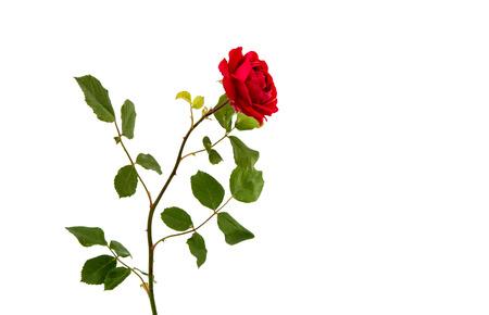 rosas rojas: Rosa Roja aislado sobre fondo blanco.  Foto de archivo