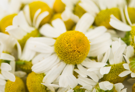 matricaria recutita: Medical daisy on a white background