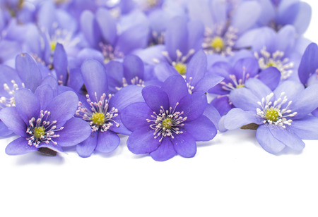 nobilis: Hepatica nobilis on a white background