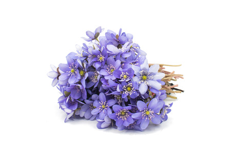 hepatica: Hepatica nobilis on a white background