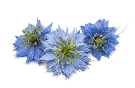 bluet: knapweed flower on a white background