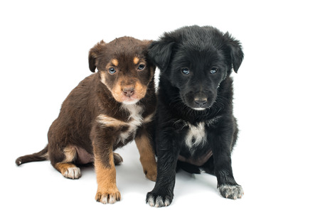 weenie: Puppy isolated on white background