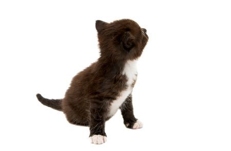 kitten: small black-white kitten on a white background