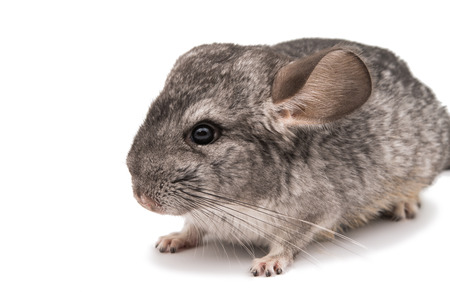 Chinchilla on a white background