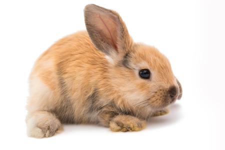 Kaninchen Ram Rasse, rote Farbe, isoliert auf weißem Hintergrund. Standard-Bild