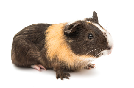 sniffle: guinea pig on a white background Stock Photo