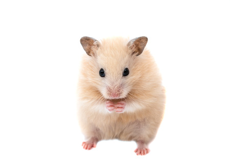 dwarf hamster: hamster on a white background