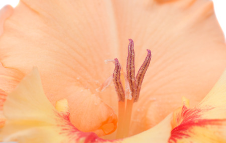 gladiolus: gladiolus flower closeup