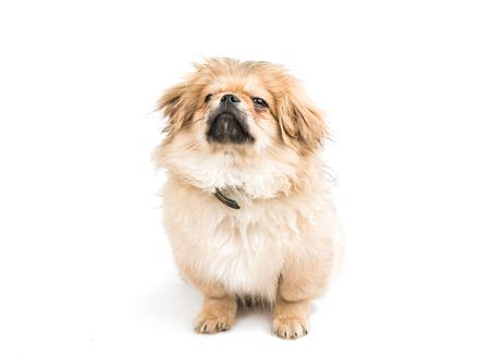 pekingese: Pekingese puppy on a white background Stock Photo