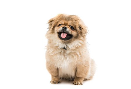puppy: Pekingese puppy on a white background Stock Photo