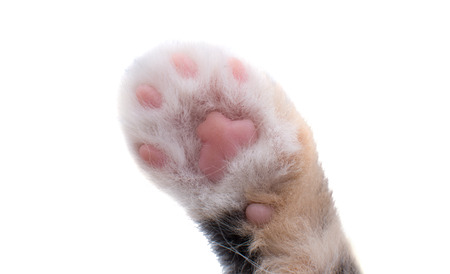 cat paw isolated on white background