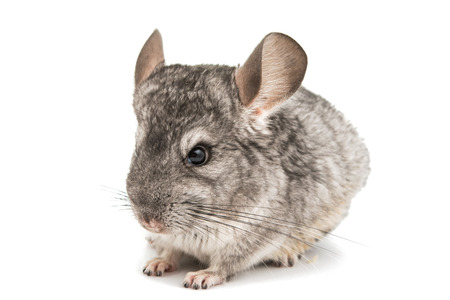 studioshot: Chinchilla on a white background