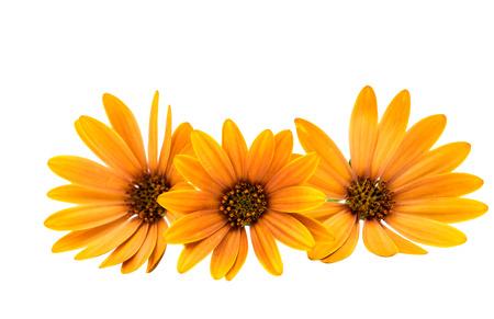 fun background: Osteospermum Daisy or Cape Daisy Flower Flower Isolated over White Background. Macro Closeup Stock Photo