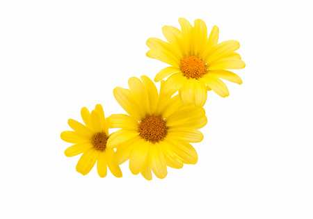 isolated on yellow: yellow daisy on a white background