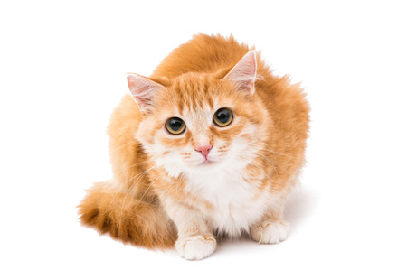 fun background: red cat on a white background