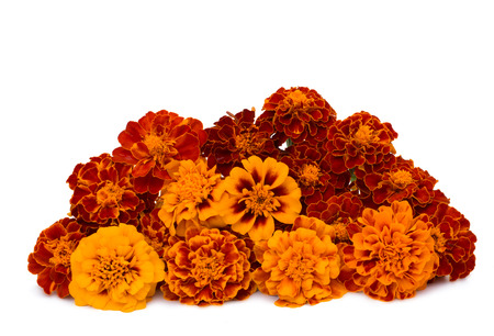 marigolds: marigolds isolated on white background