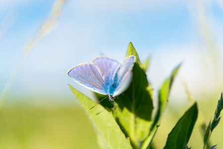 polyommatus icarus: blue butterfly sitting on the leaves