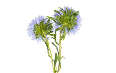 aster flowers: aster flowers on a white background