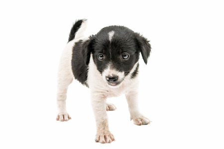 sheepdogs: puppy on a white background