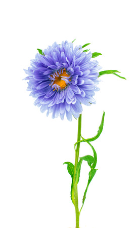 aster: aster flower on a white background