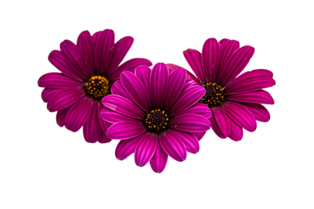 closeup of pink daisy with: A violet Pink Osteosperumum Flower Daisy White Background Stock Photo