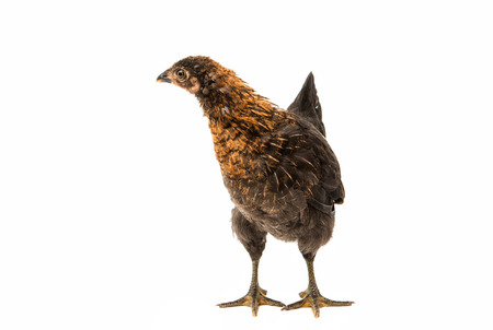 pullet: chickens on a white background