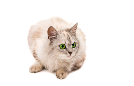 gray cat: gray cat on a white background