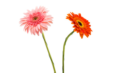 red gerber daisy: gerbera on a white background