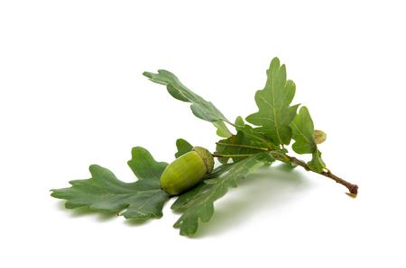 acorn tree: Green acorn on a white background Stock Photo