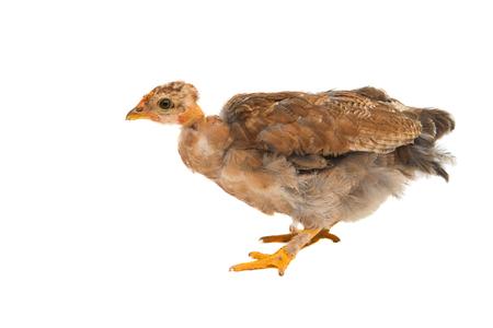 kampung: Chicken on a white background