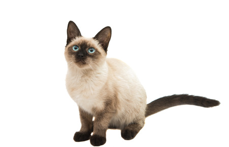 Siamese kitten on a white background