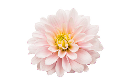 dignity: Studio Shot of White Color Dahlia Isolated on White Background. Macro. Symbol of Elegance, Dignity and Good Taste.