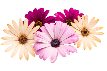 closeup of pink daisy with: Osteospermum Daisy or Cape Daisy Flower Flower Isolated over White Background. Macro Closeup Stock Photo