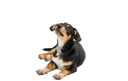 lays down: Dachshund puppy on a white background Stock Photo