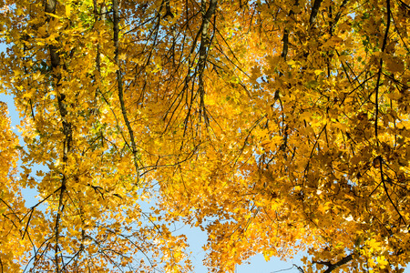 yellow alder: Maple tree in autumn Stock Photo