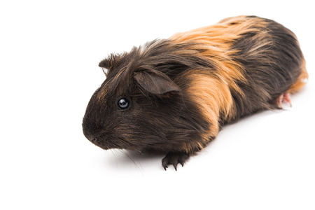 pig: guinea pig on a white background Stock Photo