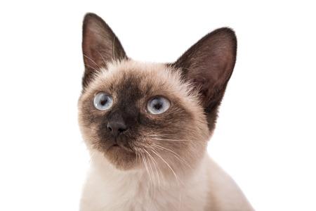 gestos de la cara: Gatito siam�s sobre un fondo blanco