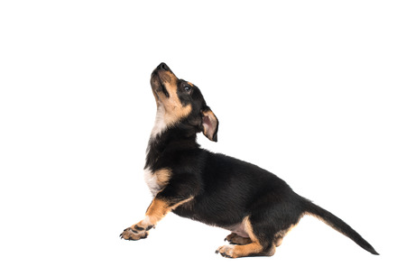 reverie: dachshund on a white background