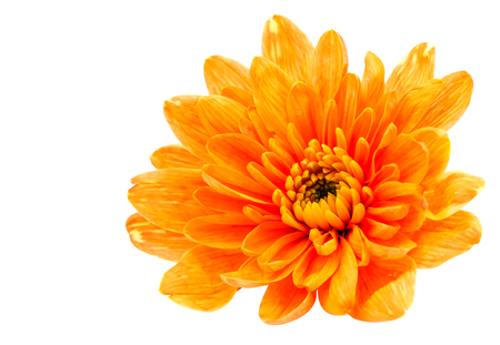 georgina: Beautiful orange chrysanthemum on a white background