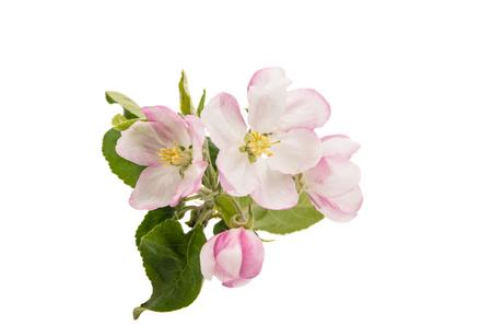 flor de cerezo: manzana rama de un �rbol con flores sobre un fondo blanco Foto de archivo