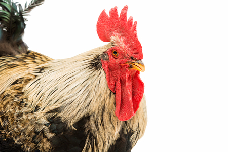 natural cock: Beautiful cock closeup on a white background